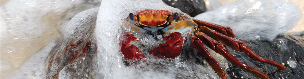 Close up of a crab with water washing over it