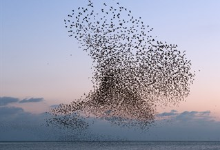 Photograph of starlings murmurating over West Pier, Brighton, by artist Christopher Stevens