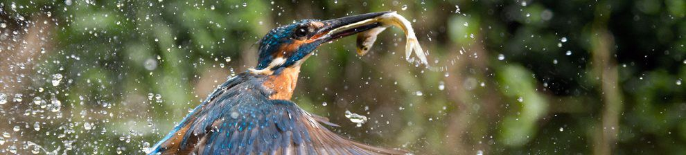 Kingfisher-banner