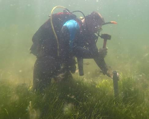 Diver studying seagrass