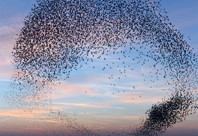 Murmuration of Starlings over Brighton